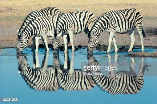 Burchells Zebra (Equus burchelli) drinking at waterhole, Etosha, Namibia : Photo