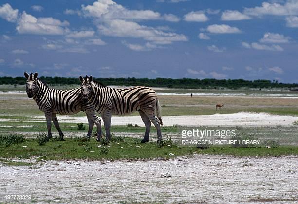 Burchell's zebra Equidae