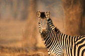 Burchell's Zebra - Equus burchelli,  Mana Pools National Park, Zimbabwe, Africa