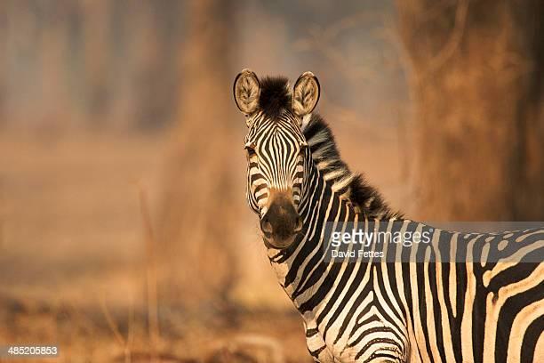 Burchell's Zebra - Equus burchelli,  Mana Pools National Park, Zimbabwe, Africa