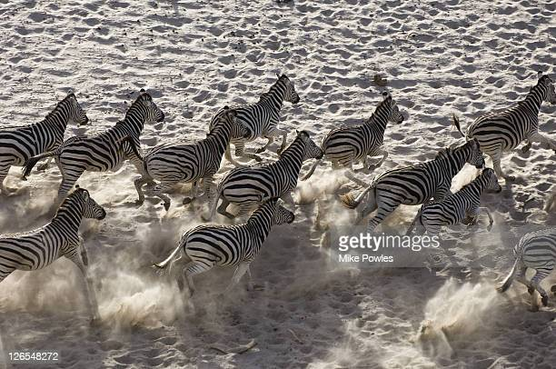Burchells zebra, Equus burchellii, group from above, Makgadikgadi GR, Botswana