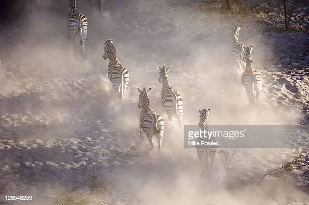 Burchells zebra, Equus burchellii, group running, Makgadikgadi GR, Botswana