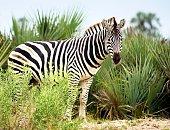 Burchell's zebra standing in front of palm leaves in the Okavanga Delta of Botswana.
