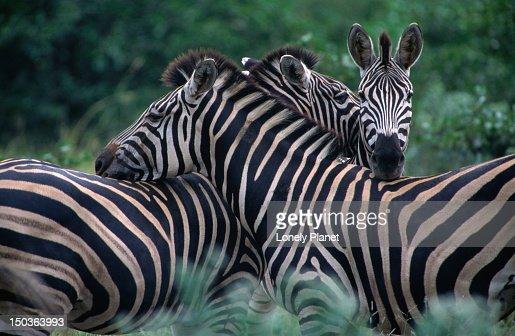 Burchells' Zebra, Kruger National Park. : Foto stock