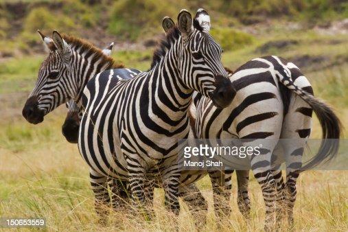 Burchell's Zebra : Stock Photo