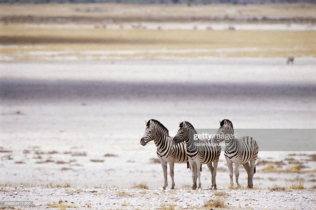 Burchell's zebra (Equus burchelli) : Stock Photo