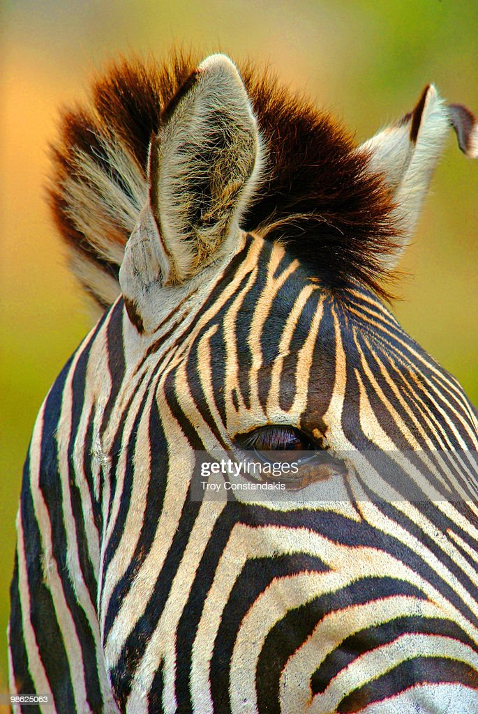 Burchells Zebra : Stock Photo