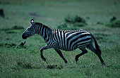 Burchell's zebra (Equus burchelli), walking, Kenya