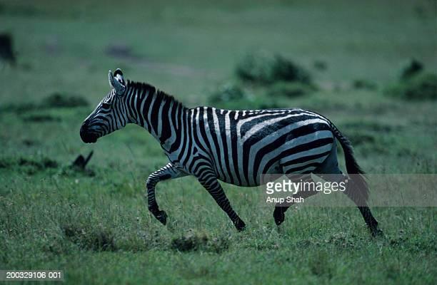 Burchell's zebra (Equus burchelli), walking, Kenya