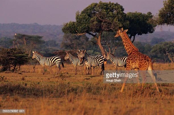 Burchell's zebras (Equus burchelli) and Masai giraffe (Giraffa camelopardalis)