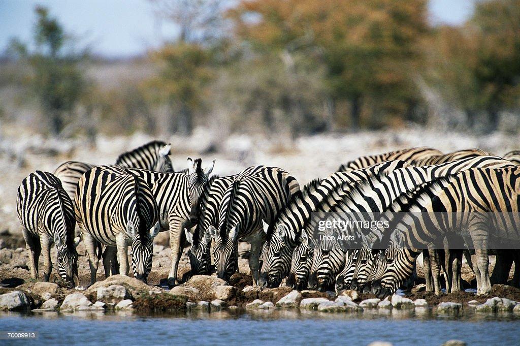 Burchell's zebras (Equus burchelli) at Goas watering hole, Namibia : Stock Photo