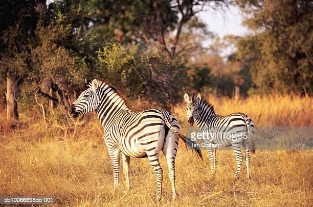 Burchells Zebras, Botswana