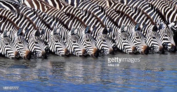 Burchell's zebras drinking from a river