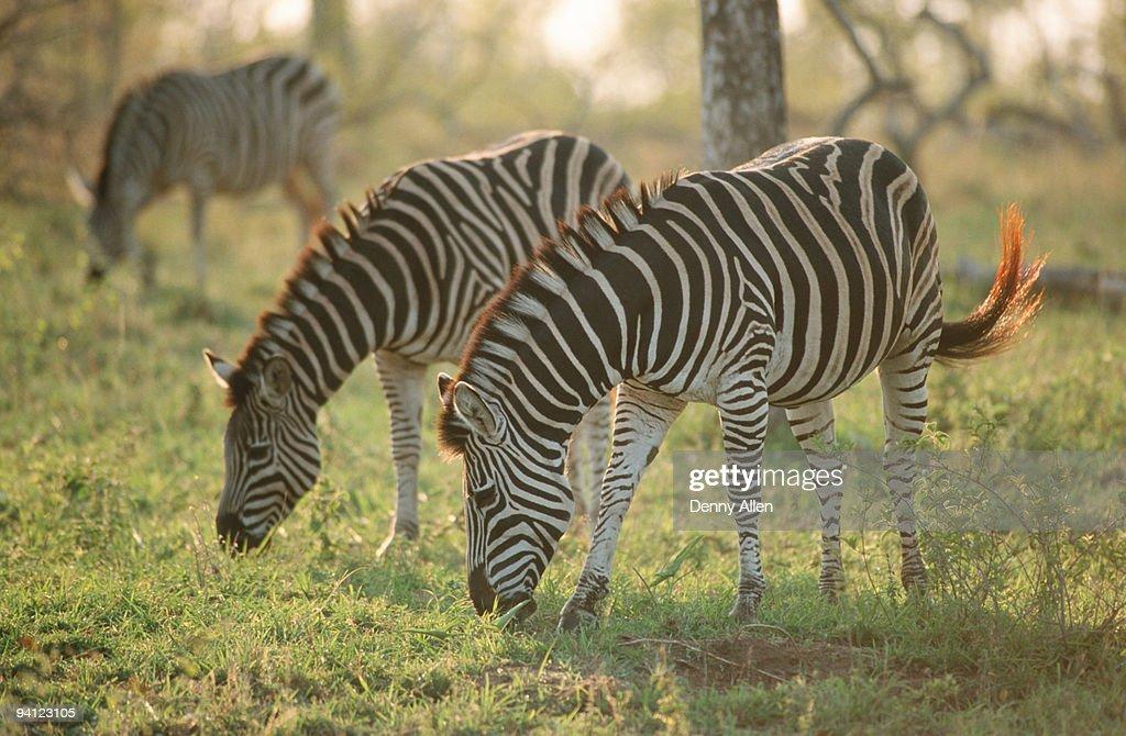 Burchell's Zebras, Equus burchelli grazing, South Africa : Stock Photo