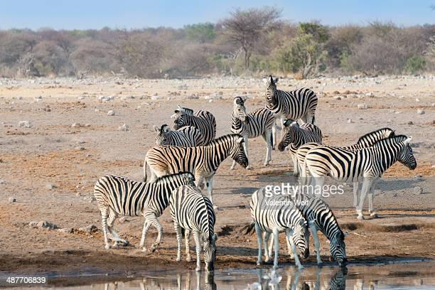 Burchell's Zebras -Equus quagga burchellii-, herd drinking at the Chudop waterhole, Etosha National Park, Namibia
