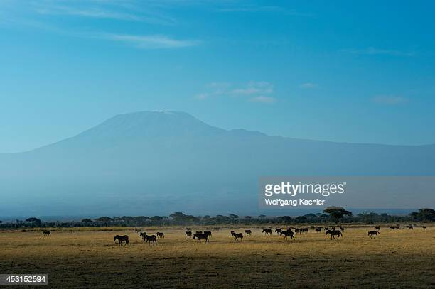 Burchell's zebras in Amboseli National Park in Kenya with Mount Kilimanjaro in background