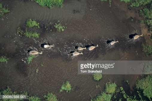 Burchell's zebras (Equus burchelli), Kenya, Africa, (Aerial view) : Stock Photo