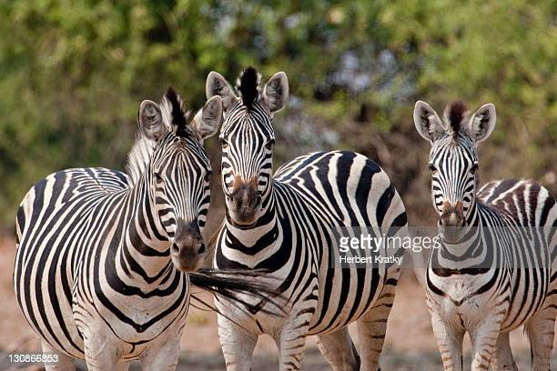 Burchell's Zebras or Plains Zebra, Chobe National Park, Botswana, Africa