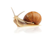 Burgundy snail (Helix pomatia) isolated on white background.