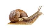 Burgundy snail (Helix pomatiaside view isolated on white.