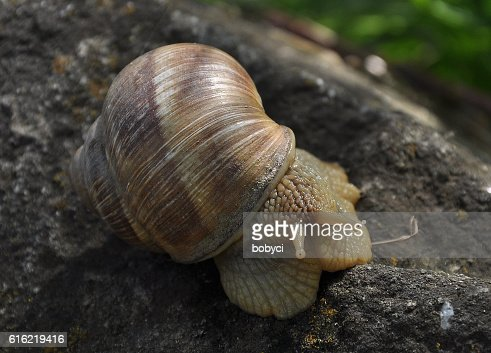 Burgundy snail (Helix pomatia) : Stock Photo