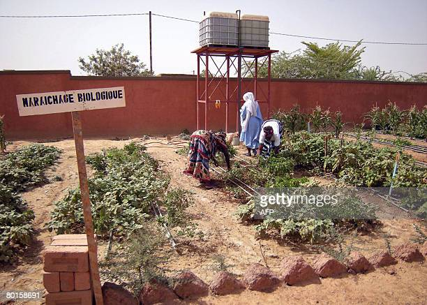 Burkinabese women take care of shea butter plants as they learn to manage a market garden on March 7 2008 in a neighborhood of Ouagadougou where 85...