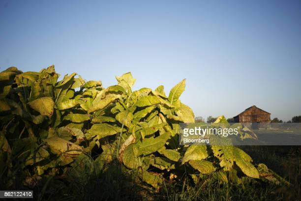 Burley tobacco leaves grow before being harvested at Tucker Farm in Finchville Kentucky US on Tuesday Sept 26 2017 Kentucky crop production is set to...