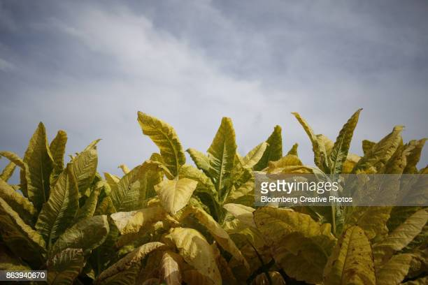 Burley tobacco leaves grow before being harvested in Kentucky