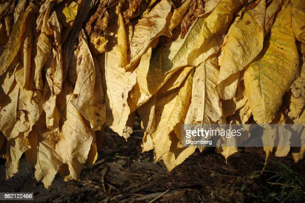 Burley tobacco leaves hang after being harvested at Tucker Farms in Shelbyville Kentucky US on Thursday Aug 24 2017 Kentucky crop production is set...