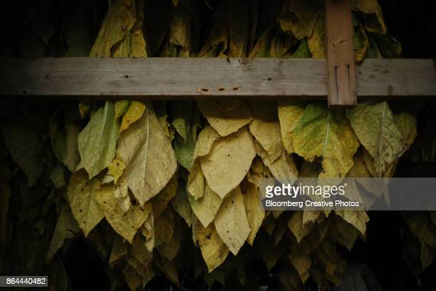 Burley tobacco leaves hang inside of a barn in Kentucky