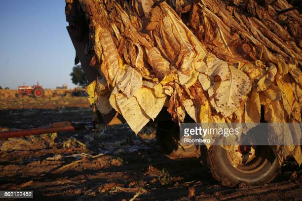 Burley tobacco leaves hang off a tractor flatbed after being harvested at Tucker Farms in Shelbyville Kentucky US on Thursday Aug 24 2017 Kentucky...