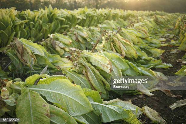Burley tobacco leaves sit after being harvested at Tucker Farms in Finchville Kentucky US on Tuesday Sept 26 2017 Kentucky crop production is set to...