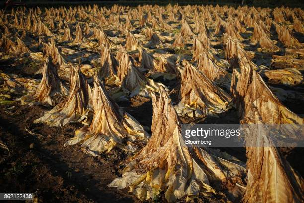 Burley tobacco leaves sit after being harvested at Tucker Farms in Shelbyville Kentucky US on Thursday Aug 24 2017 Kentucky crop production is set to...