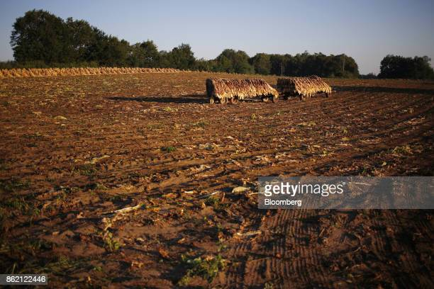 Burley tobacco leaves sit on a tractor flatbed after being harvested at Tucker Farms in Shelbyville Kentucky US on Thursday Aug 24 2017 Kentucky crop...