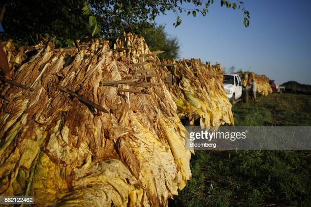 Burley tobacco leaves sit on tractor flatbeds after being harvested at Tucker Farms in Shelbyville Kentucky US on Thursday Aug 24 2017 Kentucky crop...