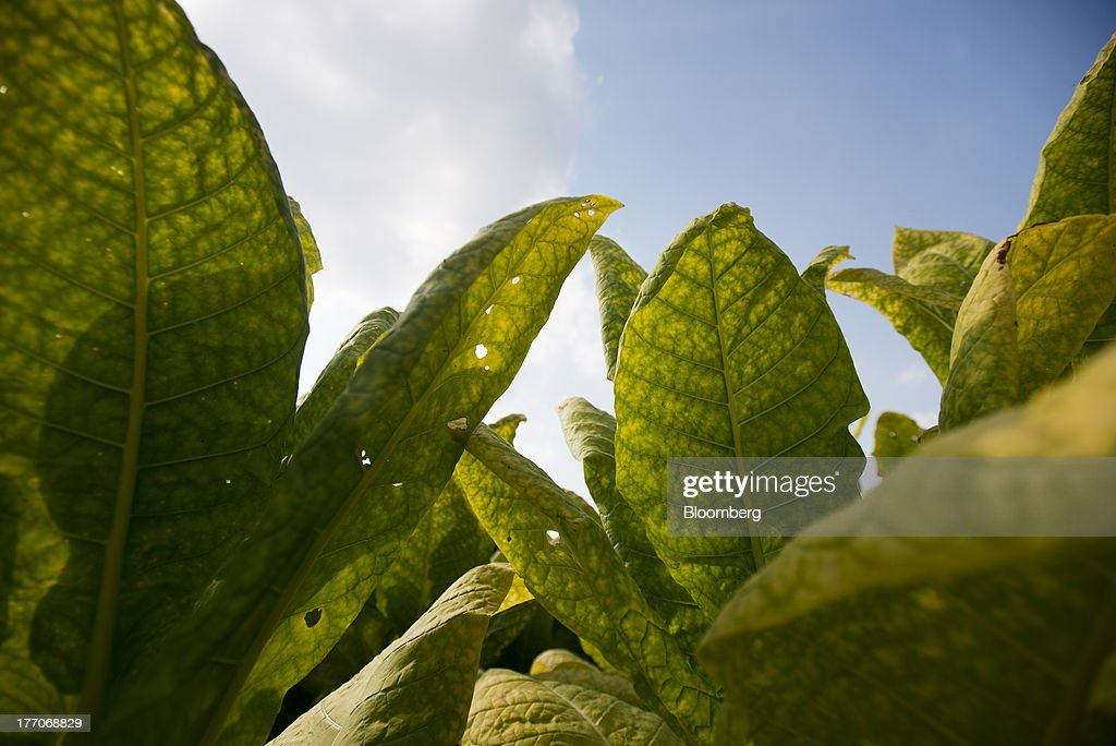 Burley Tobacco plants wait to be cut down at the Baldwin Farm in Manchester, Ohio, U.S., on Monday, Aug. 19, 2013. Ohio's debt is headed for its worst annual return since 2008 because of a slump in the value of the state's tobacco bonds. Photographer: Ty Wright/Bloomberg via Getty Images