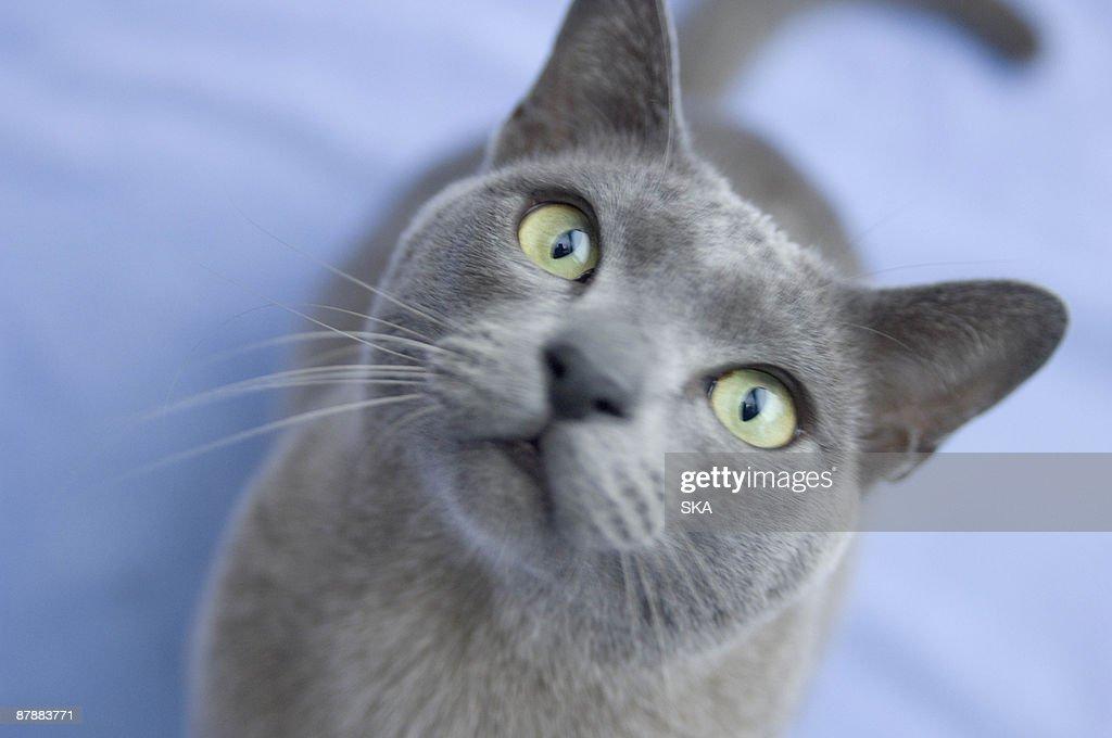Burmese cats in ireland