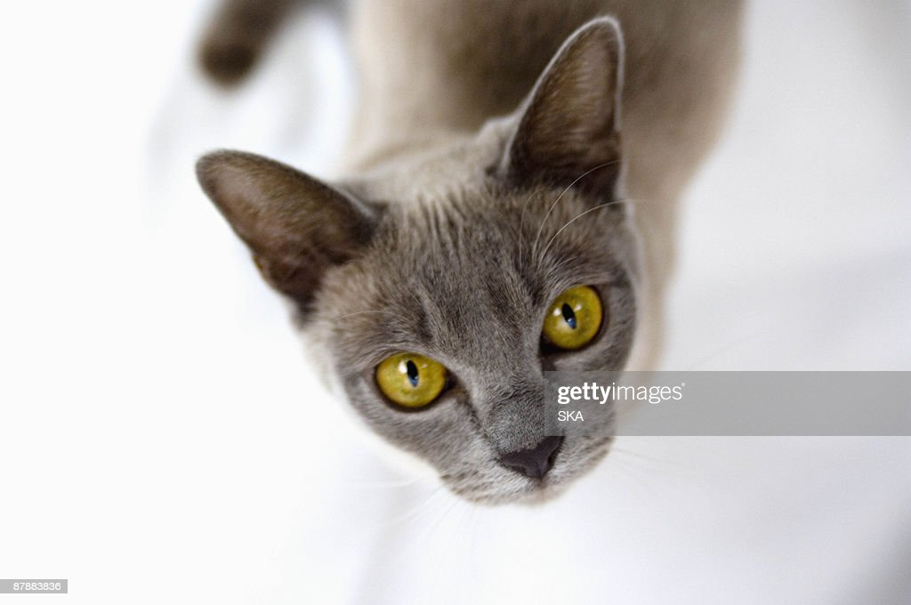 Burmese cat looking to camera : Stock Photo