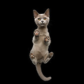 Bottom view of Burmese Kitten Standing with Cute paw pads and Curious Face Gazing on isolated black background