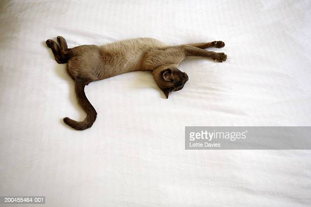 Burmese cat stretching out on duvet, overhead view