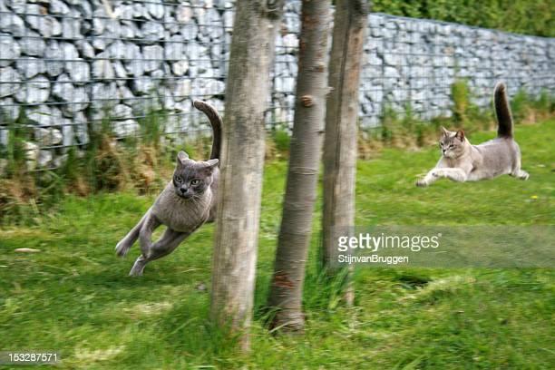 Burmese cats running