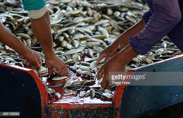 Burmese migrants sort out fish at the Kuraburi pier