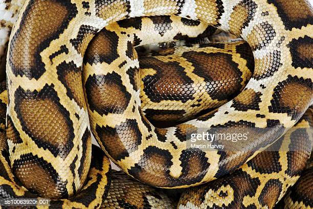 Burmese python, close up, overhead view, studio shot