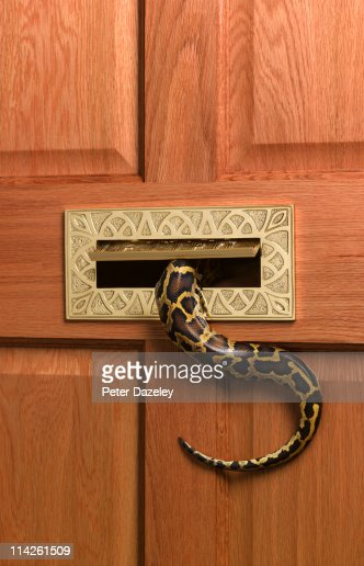 Burmese python going into letterbox : Stock Photo