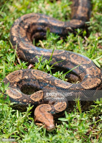 A burmese python is seen during a training with Soul River group at the Arthur R Marshall Loxahatchee National Wildlife Refugee in Boynton Beach...
