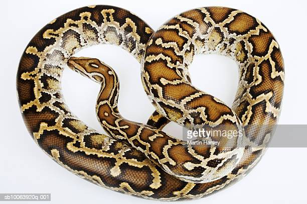 Burmese python, overhead view, studio shot