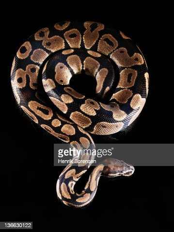 Burmese Python : Stock Photo