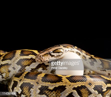 Burmese python protecting egg with copy space : Stock Photo