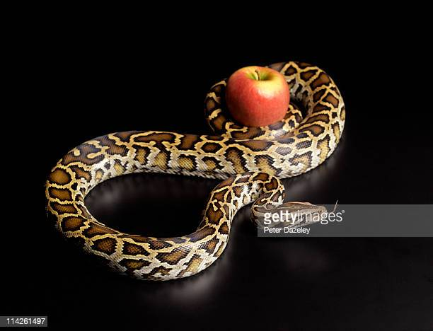 Burmese python squeezing apple