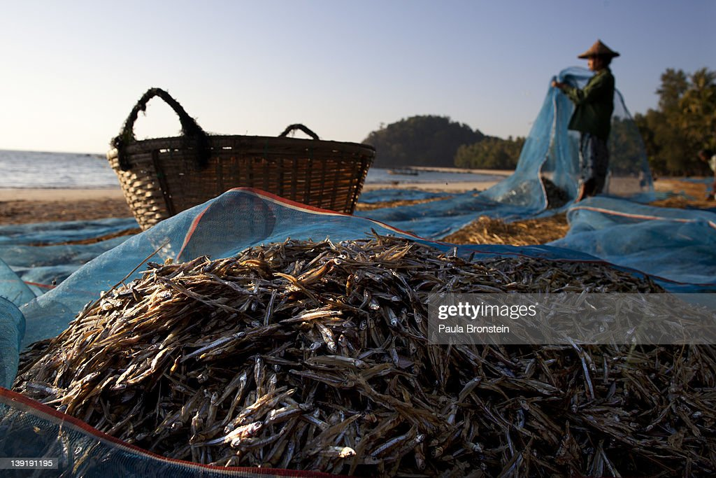 Burmese women harvest anchovies that were drying in the sun on the sand February 13 2012 in Ngapali beach Myanmar Local fishing villages that...
